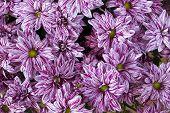 Pink Chrysanthemums Background