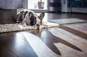 French bulldog lying down in sunny living room