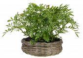 Saffron Grows In A Basket