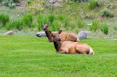 pic of deer family  - Deer on a green grass in Yellowstone - JPG