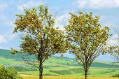 picture of ashes  - Two Trees Of Mountain Ash Against A Background Of Slovakian Landscape - JPG