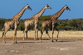 Giraffes, Three In A Row
