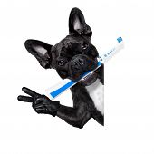 image of dog teeth  - french bulldog dog holding electric toothbrush with mouth beside white blank banner or placard isolated on white background - JPG
