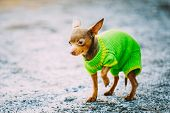 pic of chihuahua  - Beautiful Tiny Chihuahua Dog Dressed Up In Outfit - JPG