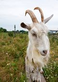 Goat attack