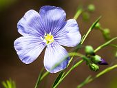 stock photo of flax plant  - Blue flax flower  - JPG