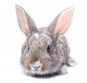 sitting isolated on white background gray bunny holiday easter