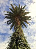 picture of ivy  - Palm tree with ivy on the trunk on blue sky with clouds background - JPG