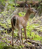 pic of eat grass  - The young deer is eating the grass in the forest  - JPG