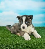 picture of puppy eyes  - Cute blue eyed puppy laying in the grass outdoors with a blue sky behind him - JPG