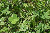 picture of four leaf clover  - Four leaf clover in the back yard on a bright sunny day - JPG
