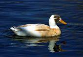 Indian Runner Duck In Blue Water