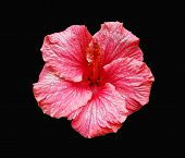 Pink Hibiscus Flower Isolated On Black