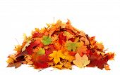 Pile of autumn colored leaves isolated on white background.A heap of different maple dry leaf .Red a poster