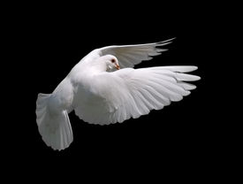 picture of holy-spirit  - A free flying white dove isolated on a black background.