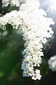 Spiraea Cinerea. White Alyssum, Fragrant Flower Garden. Gray Grefsheim, Spiraea Cinerea Zabel, Bloss poster