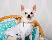 Chihuahua dog sitting on chair in studio, portrait poster