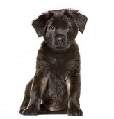 Mixed-breed dog , 2 months old, sitting against white background poster
