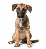 Mixed-breed dog , 7 months old, sitting against white background poster