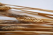 picture of gleaning  - oat stems on a white background - JPG