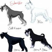 Vector Set Of Purebred Dogs Of Different Colors Schnauzer poster