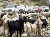 Goats And Jeeps