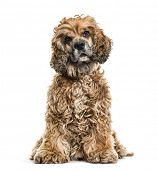 Brown Mixed-breed dog in portrait against white background poster