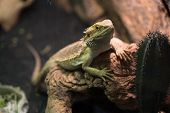 Iguana Rests On Tree Roots, Close Up. Wild Life And Reptiles Concept. Bearded Dragon On Natural Back poster