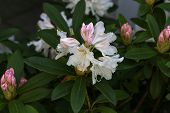 White Rhododendron Blossoms / Rhododendrons The Rhododendrons Are A Genus Of The Family Ericaceae poster