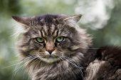 Tabby male cat