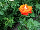 A Single Stem Of A Rose With A Large Orange Amazing Flower Of A Classic Shape. Green Natural Floral  poster