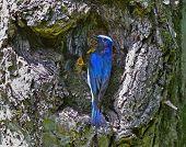 Fliegenschnäpper am Nest