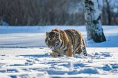 Siberian Tiger Running In Snow. Beautiful, Dynamic And Powerful Photo Of This Majestic Animal. Set I poster