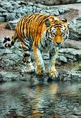 Bengal Tiger. Large Bengal tiger walking, endangered spices poster