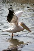 Pelican Spreading Wings