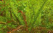 Wet Ferns In A Lush Rainforest