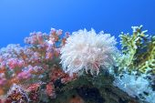 Colorful Coral Reef At The Bottom Of Tropical Sea, White Pulsing Polyp Coral , Underwater Landscape poster
