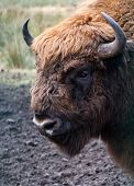 pic of aurochs  - Close - JPG
