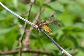 picture of broad-bodied  - broad bodied chaser dragonfly resting on twig