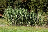 Giant Reed Or Arundo Donax Or Giant Cane Or Elephant Grass Or Carrizo Or Arundo Or Spanish Cane Or C poster
