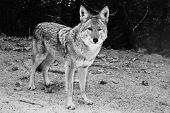 Coyote Standing At The Roadside