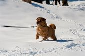 Norfolk Terrier On Winter Walk