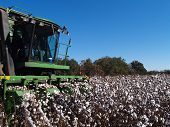 Picking Cotton Close-up