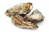 Oysters isolated on white background