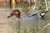 Verde – winged Teal Drake