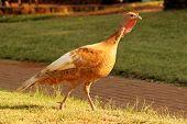 Bourbon Red Turkey