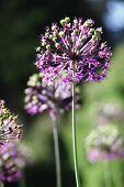 Purple alium onion flower on green background. Summer blooming