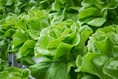 image of water cabbage  - fresh hydroponic vegetables with water drop under sunlight - JPG