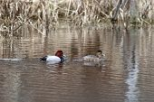 Canvasback Waterfowl Couple.
