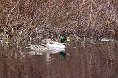 Mallard Couple In Water.